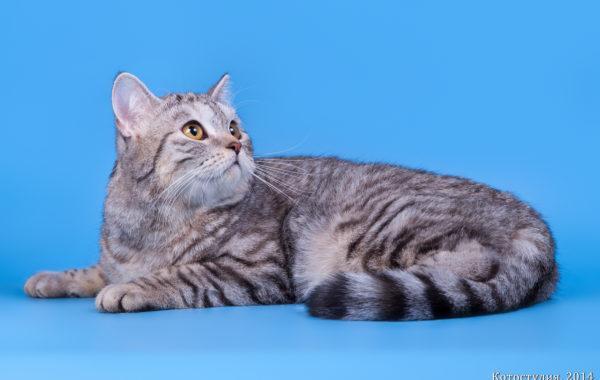 Ch. Ambercats Kleo